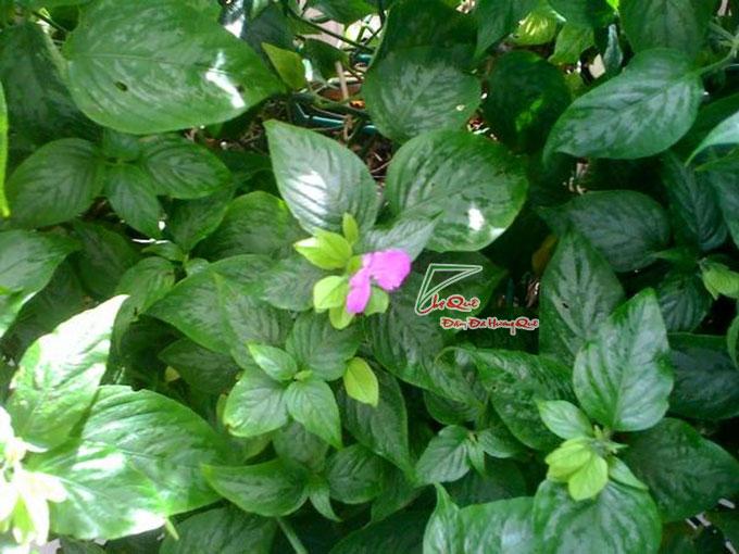 cây lá cẩm tím cẩm đỏ